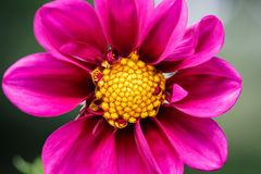 Pink flower in detail with yellow pollen Royalty Free Stock Images