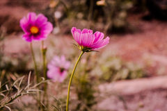 Pink Flower Royalty Free Stock Images