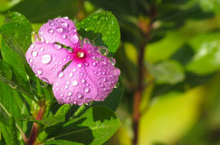 Pink flower with dew drops stock images