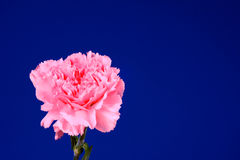 Pink flower Dianthus Stock Image
