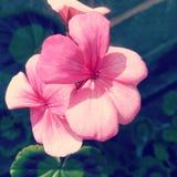 Pink_flower imagens de stock royalty free