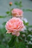 Pink flower of dog rose Stock Image