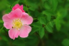Pink flower of a dogrose Stock Photo