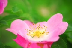 Pink flower of a dogrose Royalty Free Stock Photography