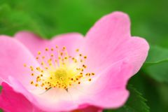 Pink flower of a dogrose Royalty Free Stock Images
