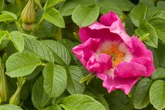 Pink flower of a dogrose and some buds. Beautiful pink flower of a dogrose and some buds on a bush Stock Photography