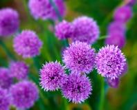 Pink  flower dreams Stock Image