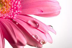 Pink flower and drops Stock Photography