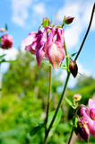 Pink flower of European columbine (Aquilegia vulgaris) in sunny stock photo