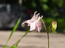 Pink flower of European or Common columbine, Aquilegia vulgaris, close-up, selective focus, shallow DOF Stock Images