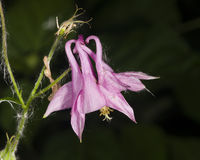 Pink flower of European or Common columbine, Aquilegia vulgaris, close-up, selective focus, shallow DOF Royalty Free Stock Photos