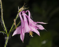 Pink flower of European or Common columbine, Aquilegia vulgaris, close-up, selective focus, shallow DOF Royalty Free Stock Images