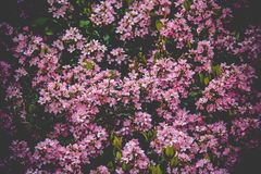 Pink Flower Field Royalty Free Stock Images