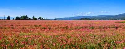 Pink flower field Royalty Free Stock Photo