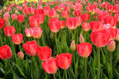 Pink flower field. A pink green flower field Stock Images