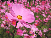 Pink flower. With field in the background Stock Images