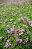 Pink Flower field background. With leafs Royalty Free Stock Photos