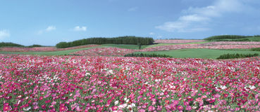 Pink Flower field royalty free stock photography