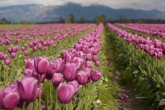 Pink tulip fields with mountains in background royalty free stock image