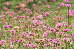 Pink flower field,Globe Amaranth or Bachelor Button stock images