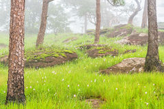 Pink flower field with green meadow and moss rock in pine forest was covered by morning fog. Bolaven Plateau, Southern of Laos.  Stock Image