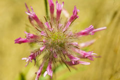 Pink flower on fields close up composition photograph. Pink flower on fields close up composition Stock Photo