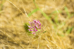 Pink flower on fields close up composition photograph. Pink flower on fields close up composition Royalty Free Stock Photos