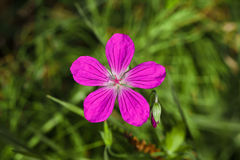 Pink flower with five petals on a background of green grass, top view. Close-up Royalty Free Stock Photography