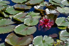 Pink Flower Floating Amongst the Lily Pads Stock Photography