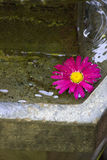 Pink Flower Floating In Water. Close-up of pink flower floating in water fountain in backyard Stock Photography