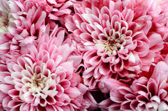 Pink flower for floral background or texture Stock Image