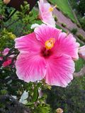 Pink flower. The flower has bloomed and i took a close up Royalty Free Stock Images