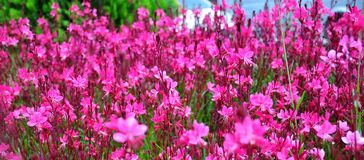 Pink flower flowerbed. Bright fuchsia flowers with green grass accents Stock Images