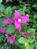 Pink flower Bougainvillea Flower. Stock Photo