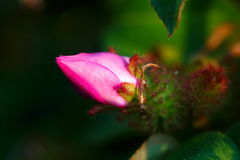 Pink flower,flowers. Royalty Free Stock Image