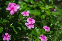 Pink flower. Pink flowers in the garden Stock Photos