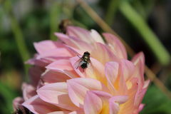 Pink flower and a fly Stock Photos