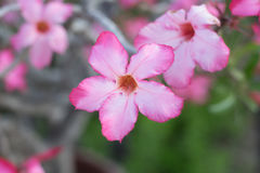 Pink flower. Focus pink flower royalty free stock image