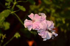 Pink flower on focus. And sun is on it Royalty Free Stock Photos