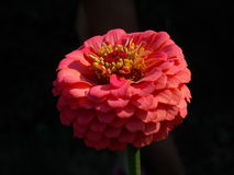 Pink flower. Focused pink flower Stock Photography