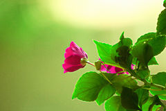 Pink flower. With foliage and green background Stock Photos