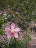 Pink Flower in The Forest Royalty Free Stock Photography