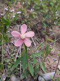Pink Flower in The Forest Royalty Free Stock Photos