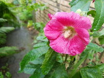 Pink Flower In Front Of House. A big pink flower in front of brick house. Taken on a grey rainy day Stock Image
