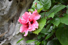 Pink flower. In front of rock Royalty Free Stock Photos