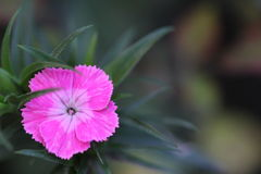 Pink Flower. In the garden Stock Image