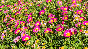 Pink flower garden  for background or others Royalty Free Stock Photos