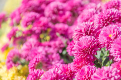 Pink flower in garden Stock Images