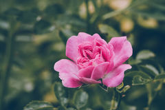 Pink flower in the garden Stock Photography