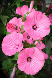 Pink flower in the garden Stock Image